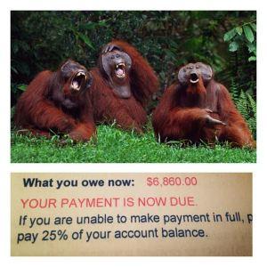 laughing orangutans